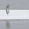 Gråhegre / Grey Heron<br /> Linnesstranda, Lier 14.11.2009<br /> Canon EOS 50D + EF 400 mm 5,6 L