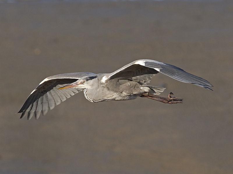 Gråhegre / Grey Heron <br /> Linnesstranda, Lier 22.4.2006<br /> Canon EOS 20D + EF 400 mm 5.6 L