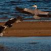 Gråhegre / Grey Heron<br /> Linnesstranda, Lier 14.8.2009<br /> Canon EOS 50D + EF 400 mm 5,6 L