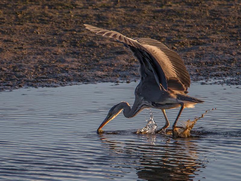Gråhegre / Grey Heron<br /> Linnesstranda, Lier 3.9.2014<br /> Canon EOS 7D + Tamron 150-600 mm 5,0 - 6,3