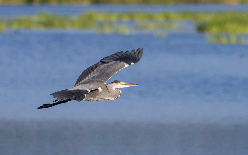 Gråhegre / Grey Heron<br /> Krankesjön, Sverige 23.7.2013<br /> Canon EOS 7D + EF 100-400 mm 4,5-5,6 L