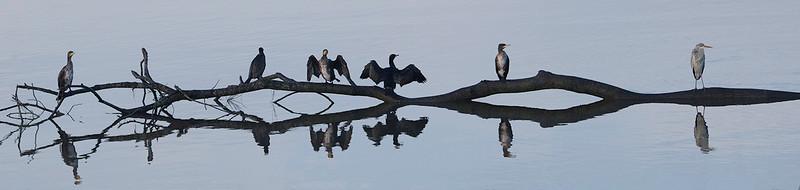 Storskarv / Great Cormorant<br /> Linnesstranda, Lier 11.10.2014<br /> Canon EOS 5D Mark II + Tamron 150-600 mm 5,0-6.3 @ 226 mm