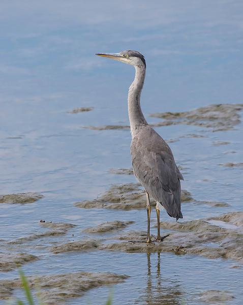 Gråhegre / Grey Heron<br /> Linnesstranda, Lier 27.06.2015<br /> Canon 7D Mark II + Tamron 150 - 600 mm 5,0 - 6,3