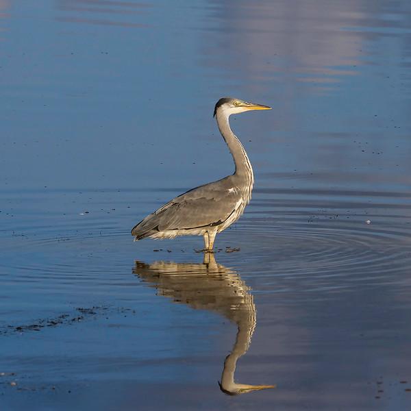 Gråhegre/ Grey Heron<br /> Skjern enge, Danmark 16.7.2014<br /> Canon EOS 7D + Tamron 100 - 600 mm 5,0 - 6,3 @ 256 mm