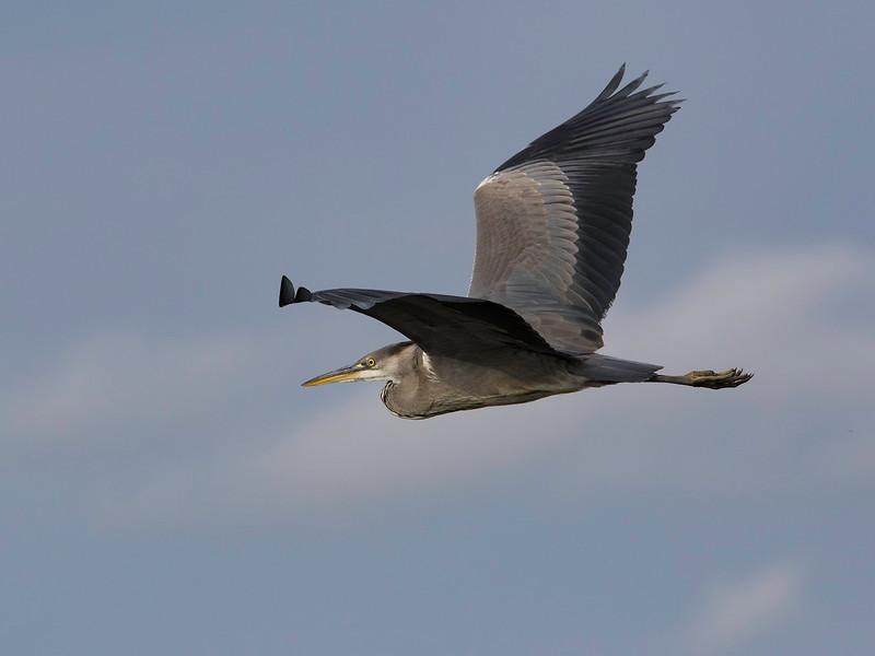 Gråhegre / Grey Heron<br /> Linnesstranda, Lier 15.08.2015<br /> Canon 7D Mark II + Tamron 150 - 600 mm 5,0 - 6,3