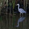 Gråhegre / Grey Heron<br /> Linnesstranda, Lier 31.8.2014<br /> Canon EOS 7D + Tamron 150-600 mm 5,0 - 6,3