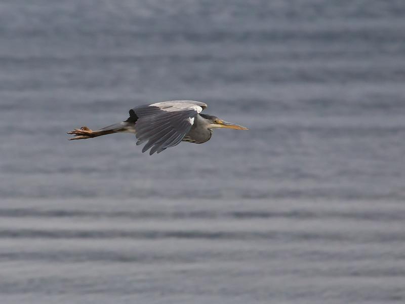 Gråhegre / Grey Heron<br /> Linnesstranda, Lier 11.10.2014<br /> Canon 7D Mark II + Tamron 150 - 600 mm 5,0 - 6,3