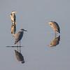 Gråhegre / Grey Heron<br /> Linnesstranda, Lier 11.10.2014<br /> Canon EOS 5D Mark II + Tamron 150 - 600 mm 5,0 - 6,3
