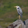 Gråhegre / Grey Heron<br /> Rolfsfjord, Lofoten 12.7.2015<br /> Canon 7D Mark II + Tamron 150 - 600 mm 5,0 - 6,3