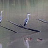 Gråhegre / Grey Heron<br /> Linnesstranda, Lier 28.7.2014<br /> Canon EOS 7D + Tamron 150-600 mm 5,0 - 6,3