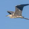 Gråhegre / Grey Heron<br /> Linnesstranda, Lier 29.7.2013<br /> Canon EOS 7D + EF 100-400 mm 4,5-5,6 L