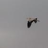 Gråhegre / Grey Heron<br /> Linnesstranda, Lier 2.8.2014<br /> Canon EOS 5D Mark II + Tamron 150-600 mm 5,0 - 6,3