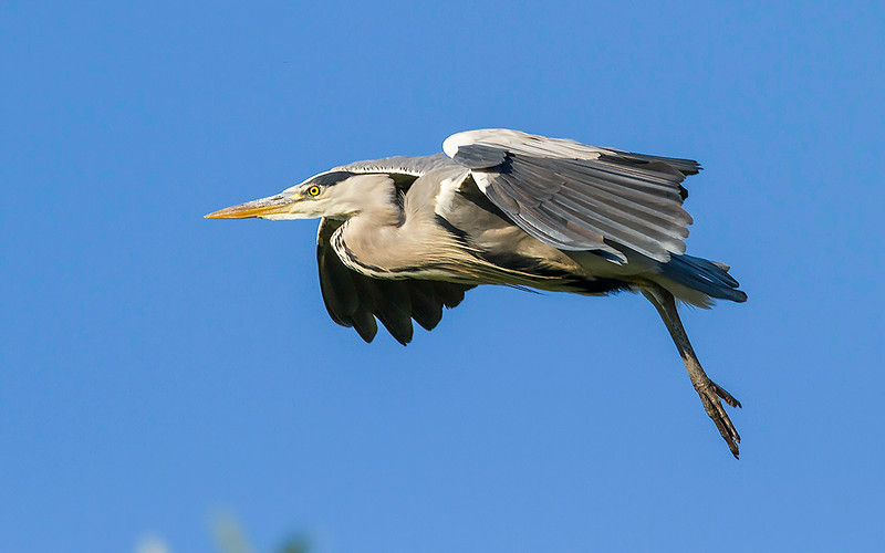 Gråhegre / Grey Heron<br /> Utterslevs mose, Danmark 19.7.2014<br /> Canon EOS 7D + Tamron 150 - 600 mm 5,0 - 6,3