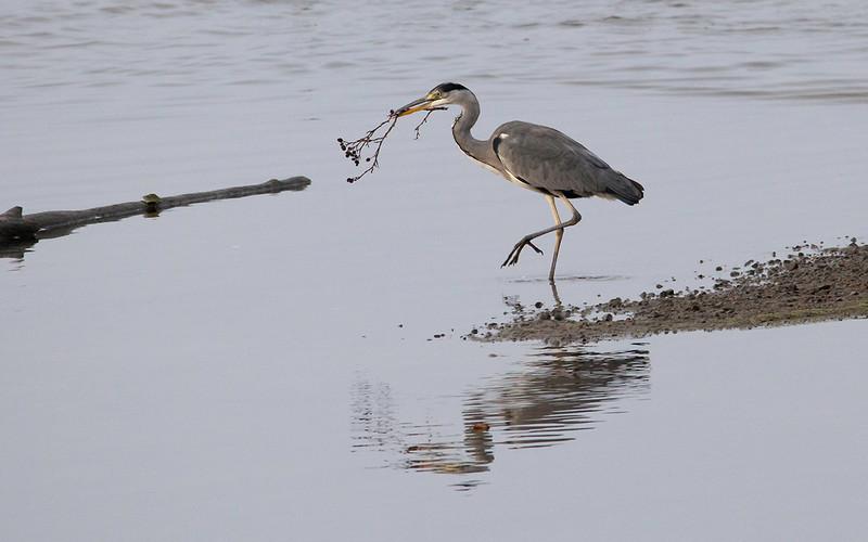 Gråhegre / Grey Heron<br /> Linnesstranda, Lier 13.9.2014<br /> Canon EOS 5D Mark II + Tamron 150 - 600 mm 5,0 - 6,3