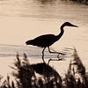 Gråhegre / Grey Heron<br /> Linnesstranda, Lier 13.10.2009<br /> Canon EOS 50D + EF 400 mm 5,6 L