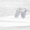 Gråhegre / Grey Heron<br /> Linnesstranda, Lier 29.1.2017<br /> Canon 7D Mark II + Tamron 150 - 600 mm 5,0 - 6,3 G2