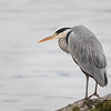 Gråhegre / Grey Heron<br /> Linnesstranda, Lier 17.11.2018<br /> Canon 5D Mark IV + EF 500mm f/4L IS II USM + 2x Ext III