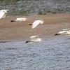 Kuhegre / Cattle Egret