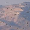 Kuhegre / Cattle Egret<br /> Oman, 30.11.2010<br /> Canon EOS 50D + EF 400 mm 5.6 L