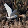 Kuhegre / Cattle Egret<br /> Oman, 28.11.2010<br /> Canon EOS 50D + EF 400 mm 5.6 L
