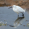 Silkehegre / Little Egret