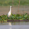 Silkehegre / Little Egret<br /> Tonle Sap, Kambodja 16.1.2020<br /> Canon  5D Mark IV + EF 500mm f/4L IS II USM + 1.4x Ext