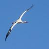 Stork / White Stork<br /> Skåne, Sverige 23.7.2013<br /> Canon EOS 7D + EF 100-400 mm 4,5-5,6 L