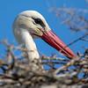 Stork / White Stork