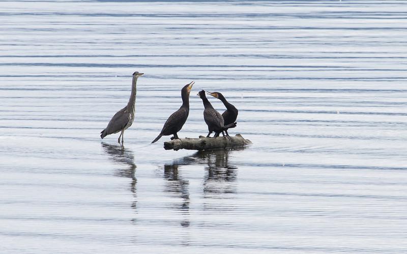 Gråhegre og storskarv / Grey Heron and Cormorant<br /> Linnesstranda, Lier 18.8.2012<br /> Canon EOS 7D + EF 100-400 mm 4,5-5,6 L
