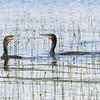 Storskarv / Great Cormorant<br /> Vikbukta, Ringerike 15.7.2012<br /> Canon EOS 7D + EF 100-400 mm 4,5-5,6 L