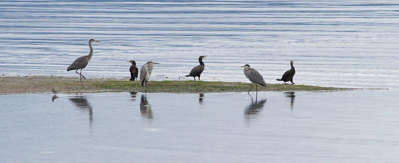 Gråhegre / Grey Heron<br /> Linnesstranda, Lier 18.8.2012<br /> Canon EOS 7D + EF 100-400 mm 4,5-5,6 L