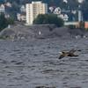 Storskarv / Great Cormorant<br /> Linnesstranda, Lier 18.8.2012<br /> Canon EOS 7D + EF 100-400 mm 4,5-5,6 L