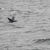 Storskarv / Great Cormorant<br /> Storsand, Hurum 1.3.2015<br /> Canon 7D Mark II + Tamron 150-600 mm 5,0-6.3