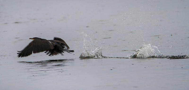 Storskarv / Great Cormorant<br /> Linnesstranda, Lier 7.9.2014<br /> Canon EOS 7D + Tamron 150-600 mm 5,0-6.3