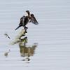 Storskarv / Great Cormorant<br /> Linnesstranda, Lier 8.7.2012<br /> Canon EOS 7D + EF 100-400 mm 4,5-5,6 L