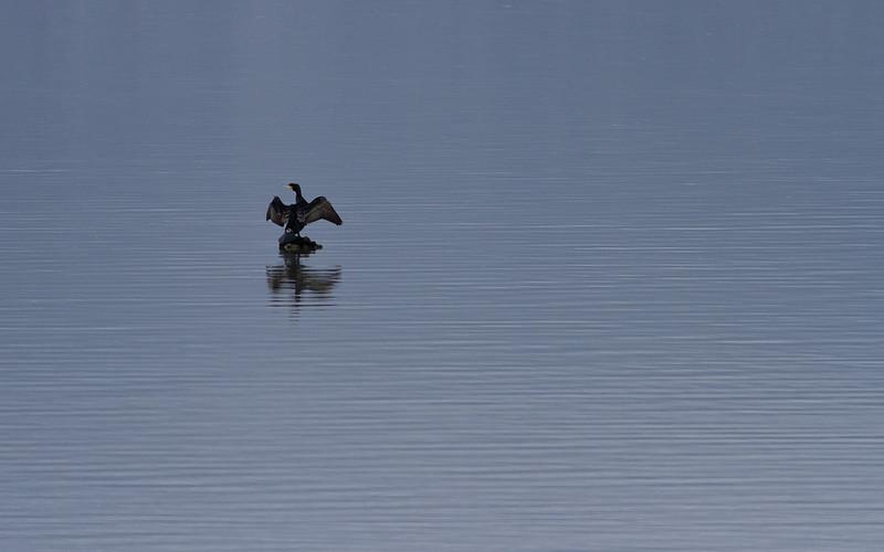 Storskarv / Great Cormorant<br /> Linnesstranda, Lier 21.4.2012<br /> Canon EOS 7D + EF 400 mm 5,6 L