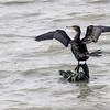 Storskarv / Great Cormorant<br /> Linnesstranda, Lier 16.9.2012<br /> Canon EOS 7D + EF 100-400 mm 4,5-5,6 L