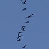 Storskarv / Great Cormorant <br /> Linnesstranda, Lier 26.3.2005<br /> Canon EOS 20D + EF 200 mm 2,8 L + Extender 1.4 x