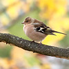 Bokfink / Chaffinch <br /> Linneslia, Lier 19.10.2013<br /> Canon EOS 5D Mark II + EF 100-400 mm 4,5-5,6 L