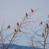 Dompap / Eurasian Bullfinch <br /> Linneslia, Lier 30.1.2011<br /> Canon EOS 7D + EF 400 mm 5,6 L