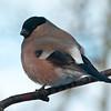 Dompap / Eurasian Bullfinch <br /> Linneslia, Lier 6.3.2005<br /> Canon EOS 20D + EF 400 mm 5,6 L