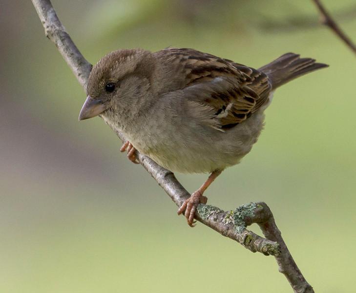 Gråspurv / House Sparrow<br /> Linnesstranda, Lier 10.6.2012<br /> Canon EOS 7D + EF 100-400 mm 4,5-5,6 L