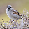 Gråspurv / House Sparrow<br /> Linnesstranda, Lier 7.3.2015<br /> Canon EOS 7D Mark II + Tamron 150 - 600 mm 5,0 - 6,3 @ 450 mm
