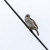 Gråspurv / House Sparrow<br /> Husebygata, Lier 10.7.2021<br /> Canon EOS R5 + Canon EF 500mm f/4L IS II USM + 1.4x Ext III