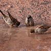Gråspurv / House Sparrow <br /> Elveparken 22.3.2005<br /> Canon EOS 20D + EF 200 mm 2,8 L + Extender 1,4 x