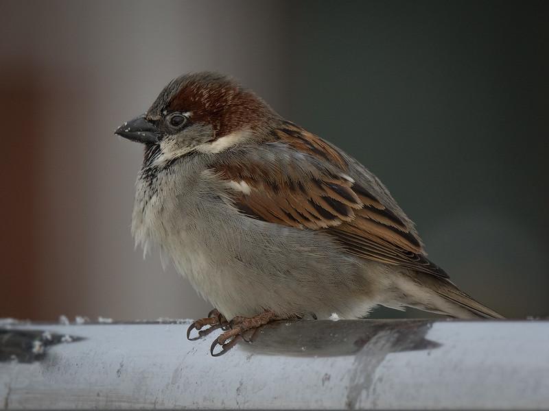 Gråspurv / House Sparrow <br /> Bragernes, Drammen 18.2.2017<br /> Canon 7D Mark II + Tamron 150 - 600 mm 5,0 - 6,3 G2