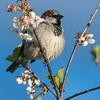Gråspurv / House Sparrow<br /> Linnesstranda, Lier 14.5.2015<br /> Canon EOS 7D Mark II + Tamron 150 - 600 mm 5,0 - 6,3