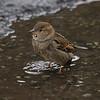 Gråspurv / House Sparrow<br /> Linnesstranda, Lier 10.6.2012<br /> Canon EOS 7D + EF 100-400 mm 4,5-5,6 L @ 285 mm