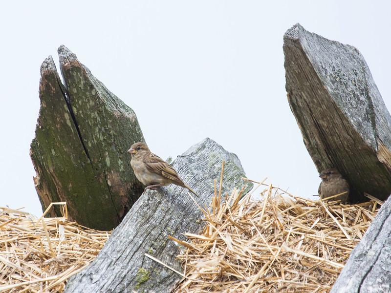 Gråspurv / House Sparrow<br /> Morups tånge, Sverige 21.7.2013<br /> Canon EOS 7D + EF 100-400 mm 4,5-5,6 L