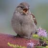 Gråspurv / House Sparrow<br /> Linnesstranda, Lier 24.7.2016<br /> Canon EOS 7D Mark II + Tamron 150 - 600 mm 5,0 - 6,3